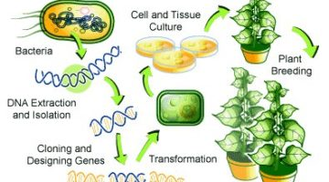 genetically modified organisms - crops
