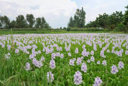 water hyacinth - water pollution - terror of bengal