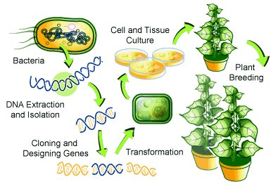 Biotechnology – Genetically Modified Crops
