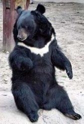 Asian black bear - moon bear or white-chested bear