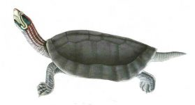 Red-crowned Roofed Turtle or the Bengal Roof Turtle