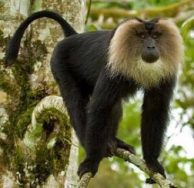 Lion-tailed macaque - wanderoo