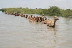 Kharai camels