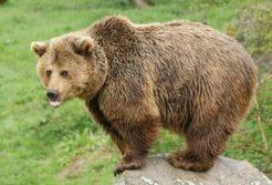 Himalayan Brown/Red Bear